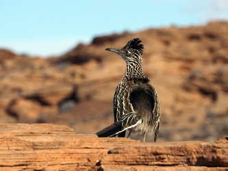 Roadrunner am Horseshoe Bend
