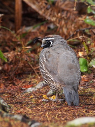 California Quail Wildvogel
