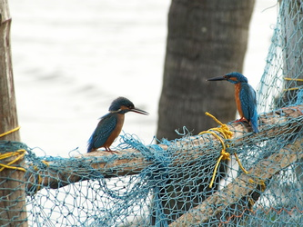 Fishermans Friends ... zwei Kingfisher